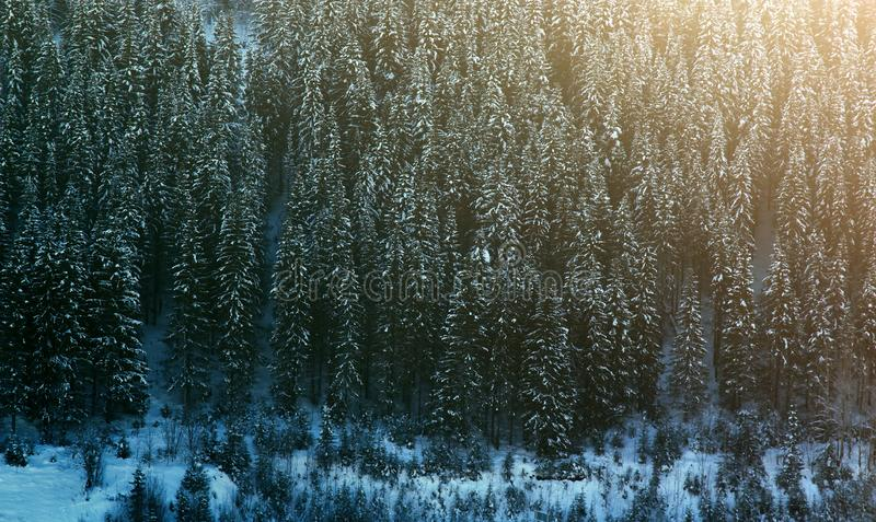 Siberian winter, snowy and frosty winter in taiga. Wood is filled with snow: snow boss, snowcap on branches and tops of fir trees stock image