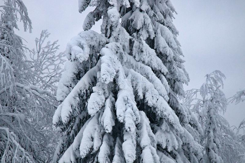 Wood is filled with snow, snowcap on branches og fir-trees. Siberian winter, snowy winter, frosty winter. Wood is filled with snow, snow-covered forest. Snow royalty free stock image