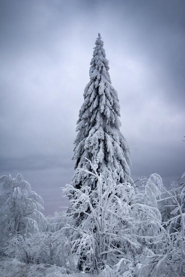Wood is filled with snow, snowcap on branches og fir-trees. Siberian winter, snowy winter, frosty winter. Wood is filled with snow, snow-covered forest. Snow stock images