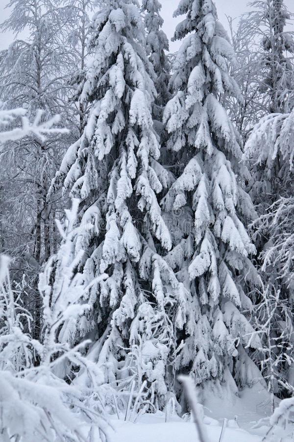 Wood is filled with snow, snowcap on branches og fir-trees. Siberian winter, snowy winter, frosty winter. Wood is filled with snow, snow-covered forest. Snow royalty free stock photos