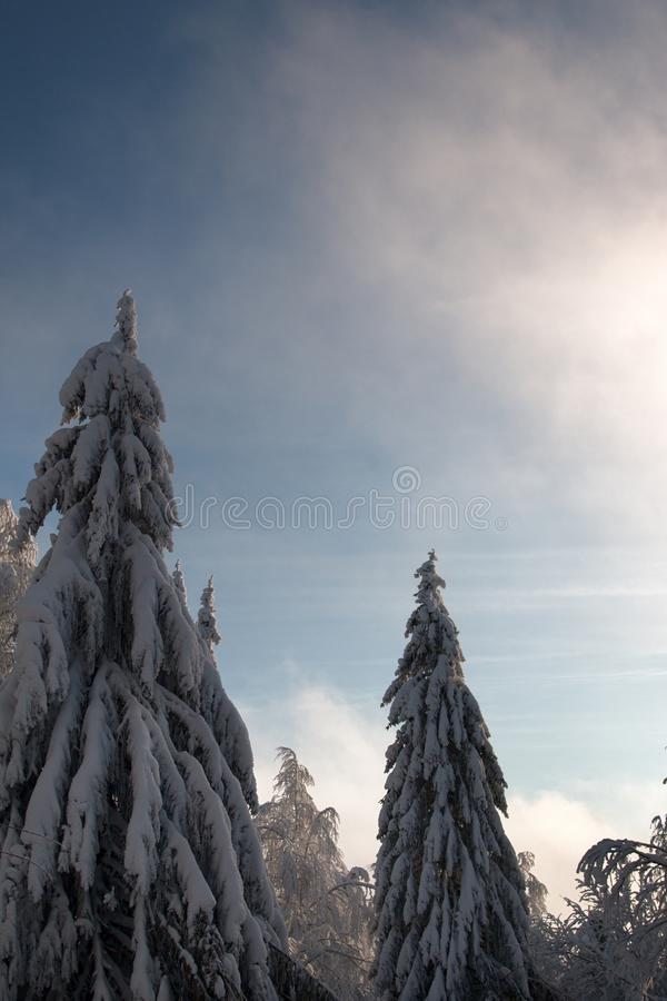 Wood is filled with snow, snowcap on branches og fir-trees. Siberian winter, snowy winter, frosty winter. Wood is filled with snow, snow-covered forest. Snow stock photo