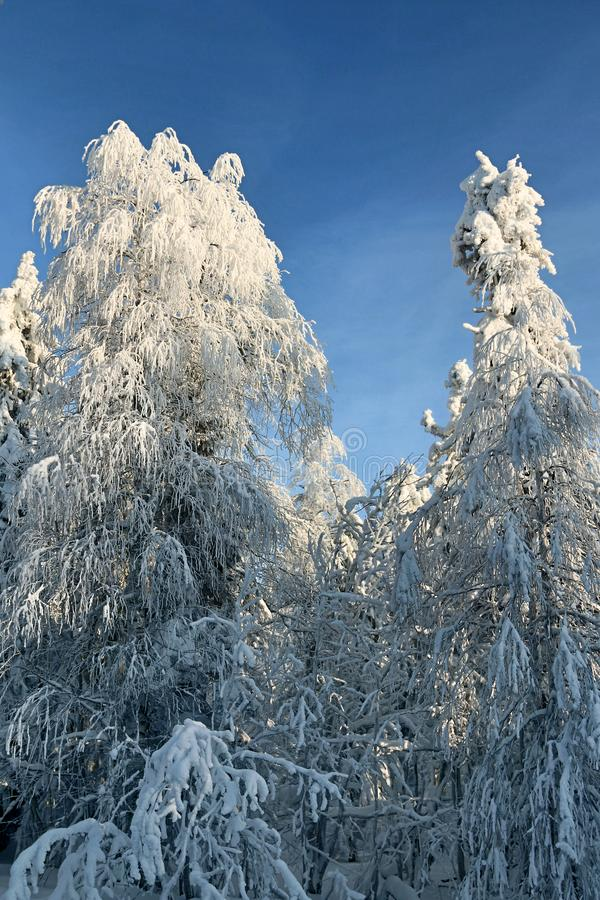 Wood is filled with snow, snowcap on branches og fir-trees. Siberian winter, snowy winter, frosty winter. Wood is filled with snow, snow-covered forest. Snow stock image