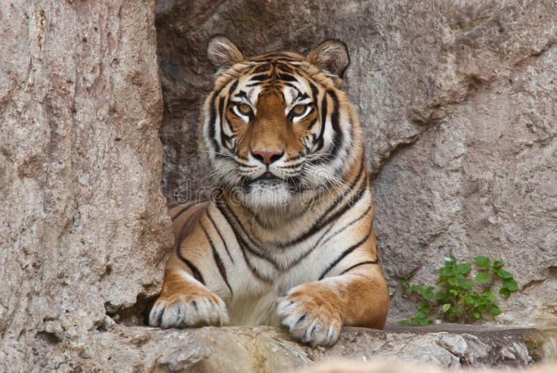 siberiana tigre 库存图片