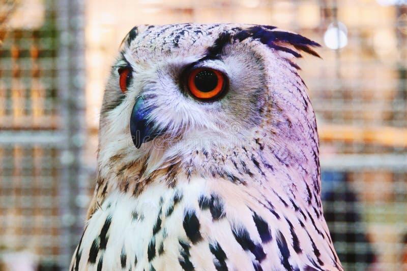 SiberianEagle Owl show på shoppinggallerian Thailand arkivbilder