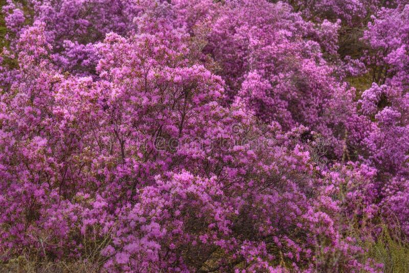 Siberiano de Sakura de la primavera de la monta?a del rododendro fotografía de archivo libre de regalías