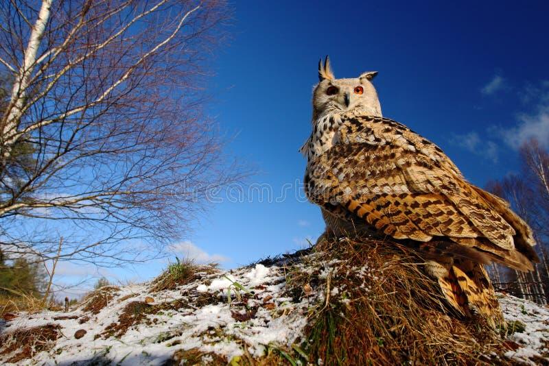 Siberiano del este grande Eagle Owl, sibiricus del bubón del bubón, sentándose en prado con la nieve, granangular con el cielo az foto de archivo libre de regalías