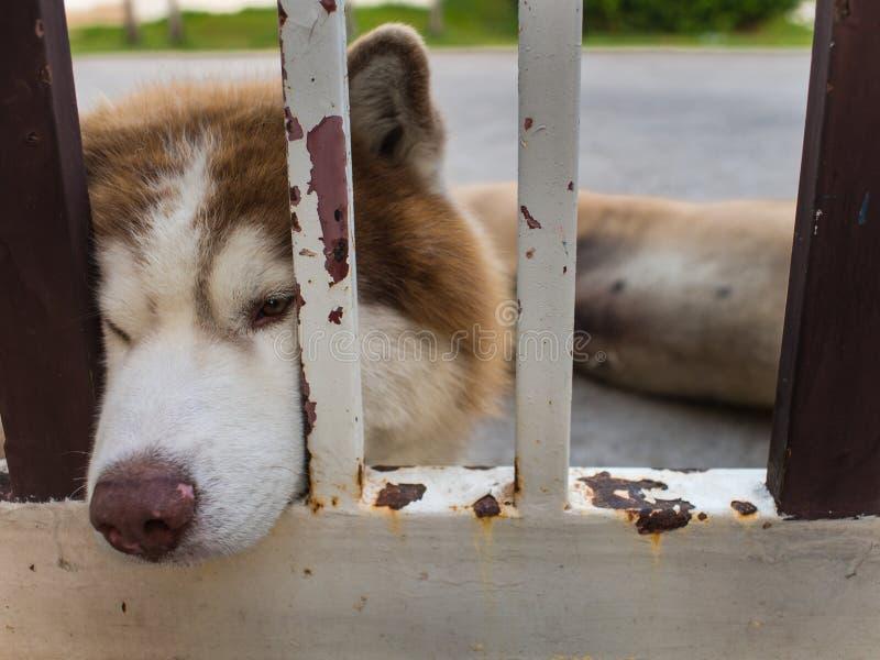 Siberiano Husky Dog Chin Resting en la cerca imagenes de archivo