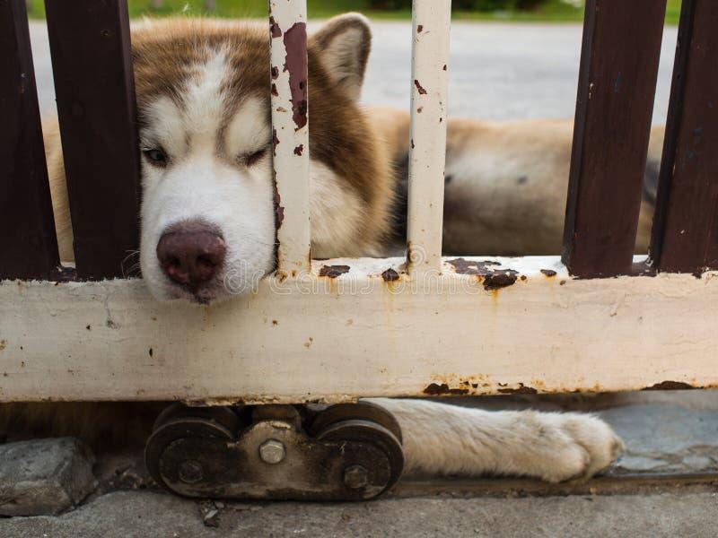 Siberiano Husky Dog Chin Resting en la cerca imágenes de archivo libres de regalías