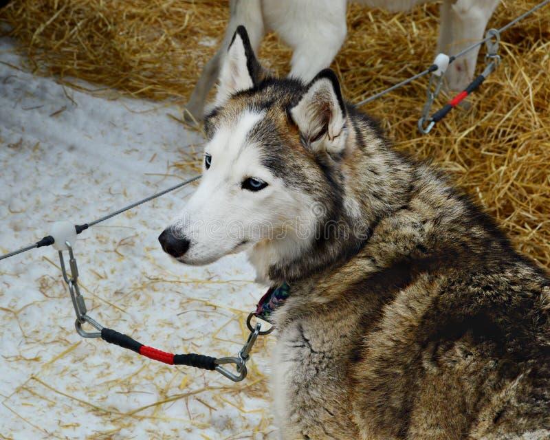 Siberiano Husky Tied Down fotografia stock libera da diritti