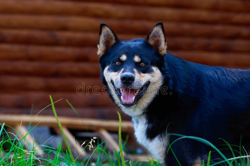 Siberiano Laika di est della razza del cane fotografia stock