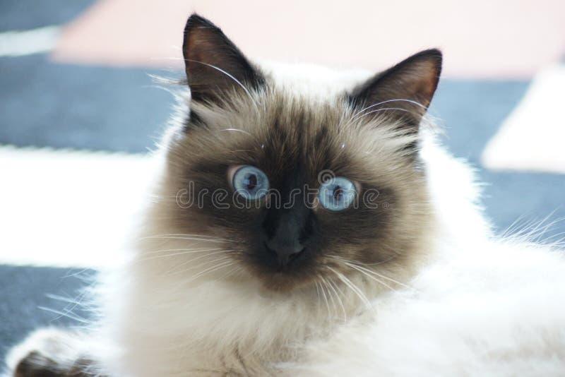 Siberiano observado azul Forest Cat imagenes de archivo