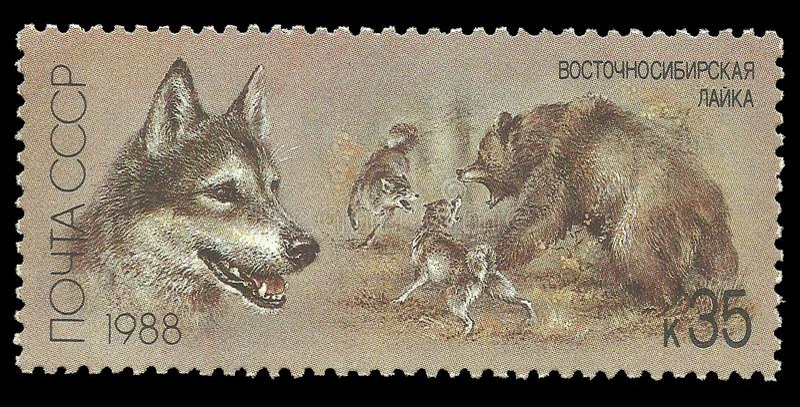 Siberiano orientale Laika immagine stock
