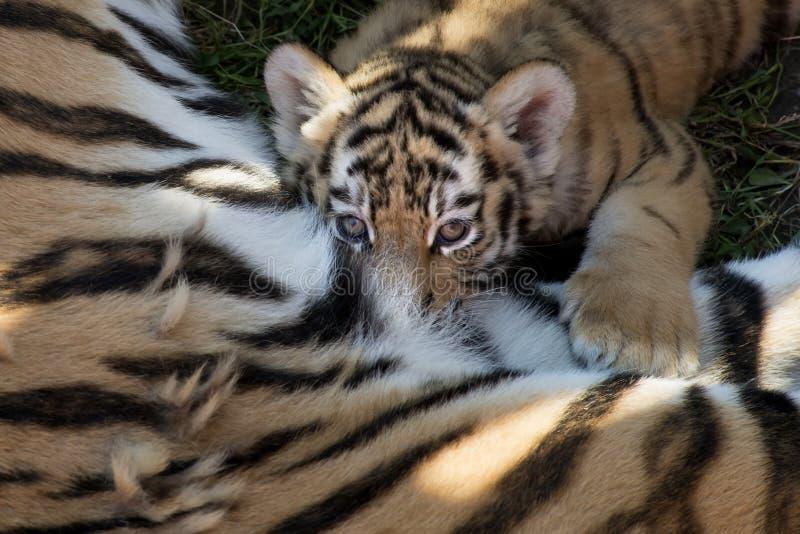 Siberiano Tiger Cub fotografía de archivo libre de regalías