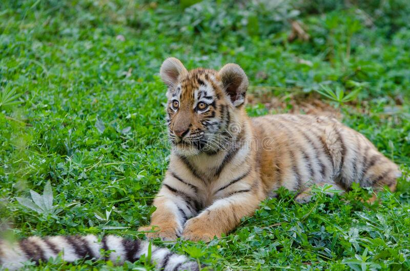 Siberiano Tiger Cub imágenes de archivo libres de regalías