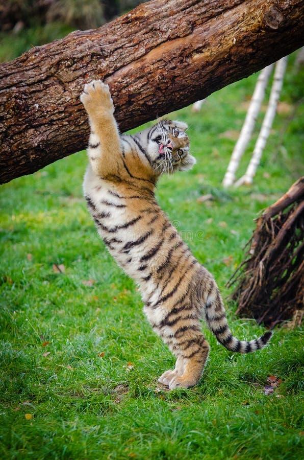Siberiano Tiger Cub imagen de archivo libre de regalías
