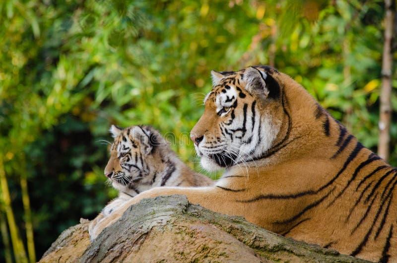 Siberiano Tiger Mom con Cub fotografía de archivo