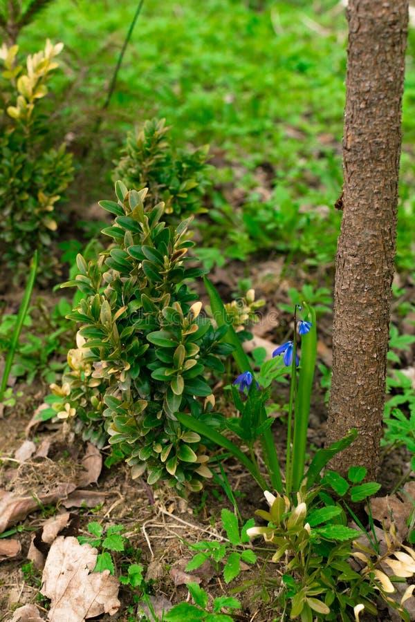 Siberica azul de Scilla ou flores siberian do squill Primeiras flores da mola O scilla azul floresce a florescência na grama verd fotos de stock royalty free