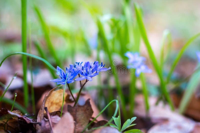 Siberica Siberian de Scilla do squill ou flowers_ da mola da floresta azul do snowdrop na primavera primeiro foto de stock