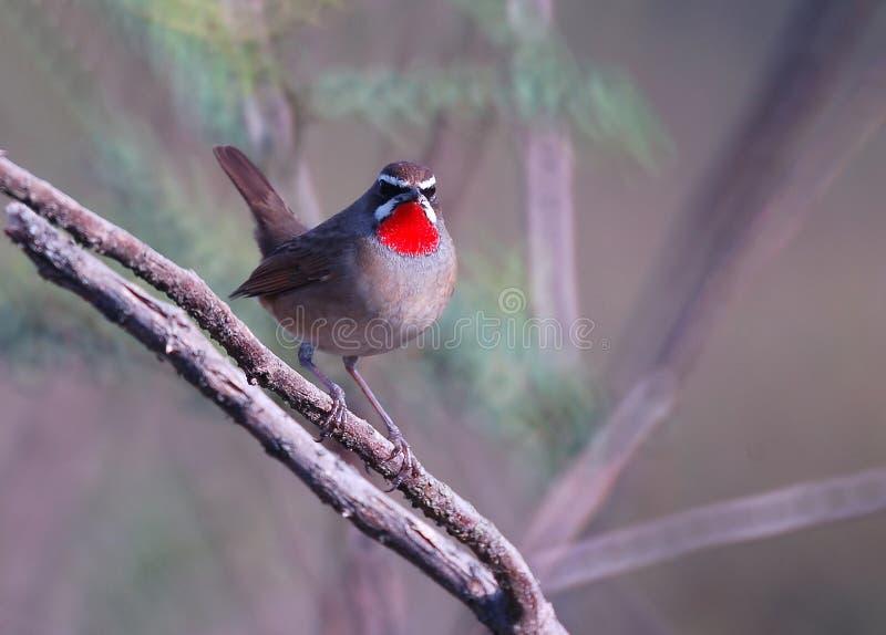 Siberien Rubythroat鸟(luscinia汽笛风琴) 免版税库存图片
