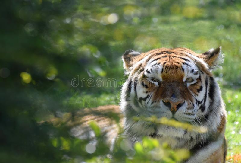 A Siberian Tiger blinking through tree branches. A Siberian Tiger looks directly at the camera through tree branches winking and blinking stock photos