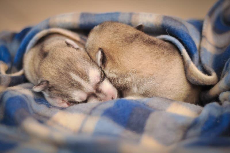 Siberisch de studioportret van schor hond pasgeboren puppy op de deken stock afbeeldingen