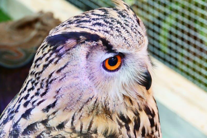 Siberisch Eagle Owl toont bij winkelcomplex Thailand royalty-vrije stock fotografie