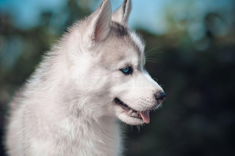 Siberisch grijs en wit blauw eyas van het schor hondpuppy portret royalty-vrije stock foto