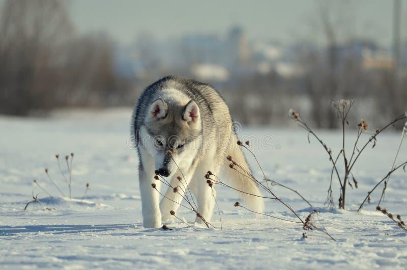 Siberisch het puppy van de huskieshond het niezen droog de wintergras royalty-vrije stock afbeelding