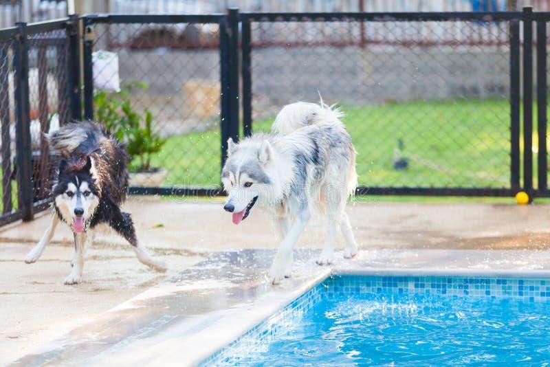 Siberisch Husky Shake Off het water naast de pool royalty-vrije stock foto's