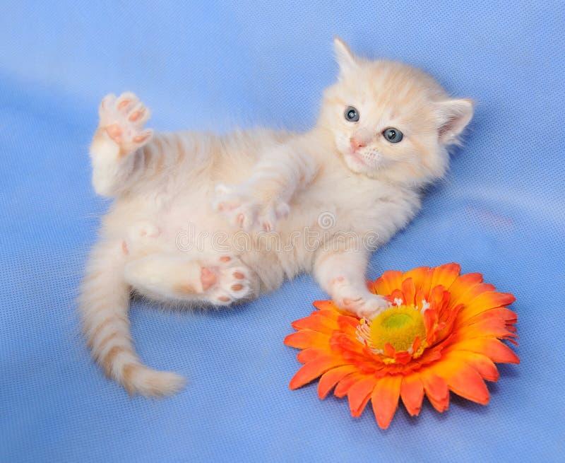 Siberisch katje royalty-vrije stock afbeelding