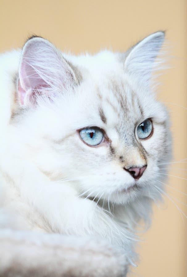 Siberisch katje, de versie van de nevamaskerade stock foto