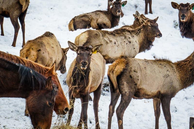 Siberisch mannetje in de bijlage altai Rusland royalty-vrije stock foto