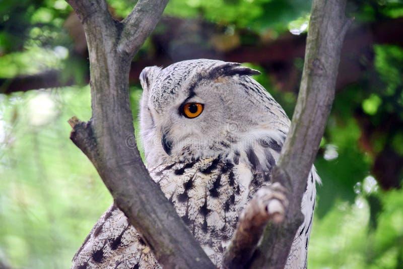 Siberisch Owl Bubo Bubo Sibiricus op Boom royalty-vrije stock afbeeldingen