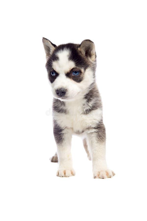 Siberisch Schor Puppy royalty-vrije stock afbeeldingen