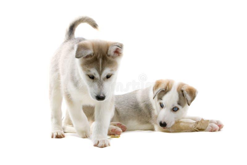 Siberisch schor puppy stock foto's