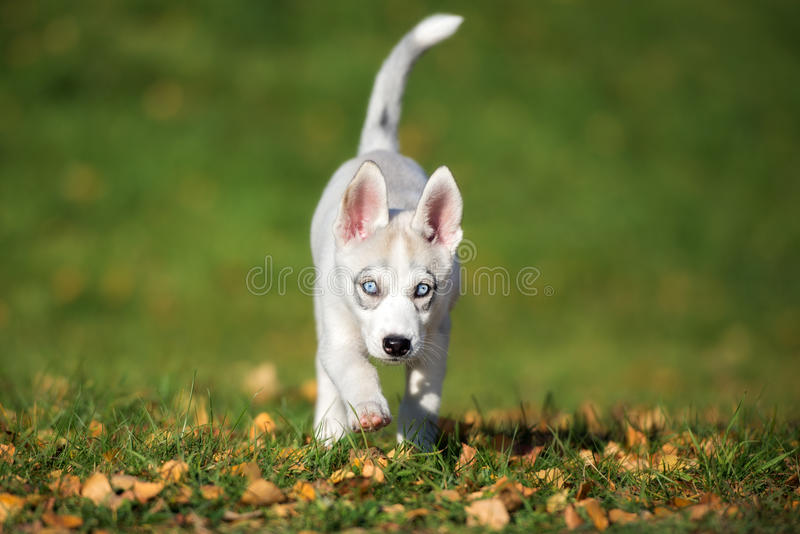 Siberisch schor puppy die in openlucht lopen royalty-vrije stock fotografie