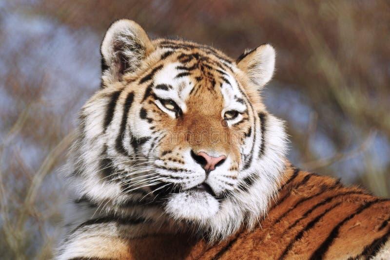 Siberisch Tiger Panthera Tigris Altaica die lichtjes aan één kant kijken royalty-vrije stock afbeelding
