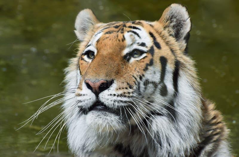 Siberisch Tiger Portrait Head en Gezicht stock foto's