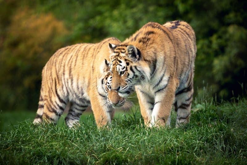 Siberisch tijgerpaar royalty-vrije stock foto