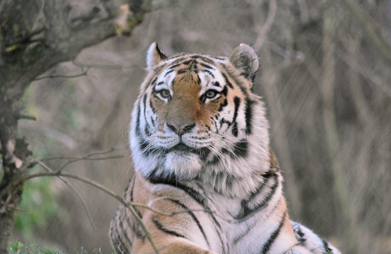 Siberische altaica van tijgerpanthera Tigris royalty-vrije stock foto's