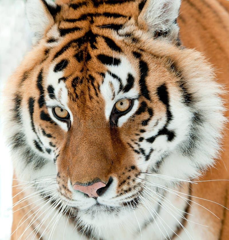 Siberische altaica van tijgerpanthera Tigris royalty-vrije stock afbeeldingen