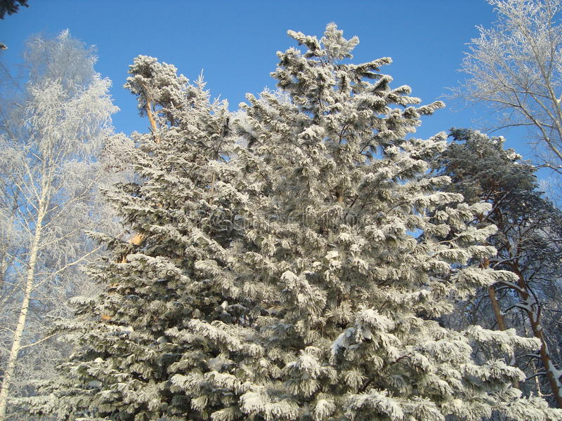 Siberische berken en pijnbomen stock fotografie
