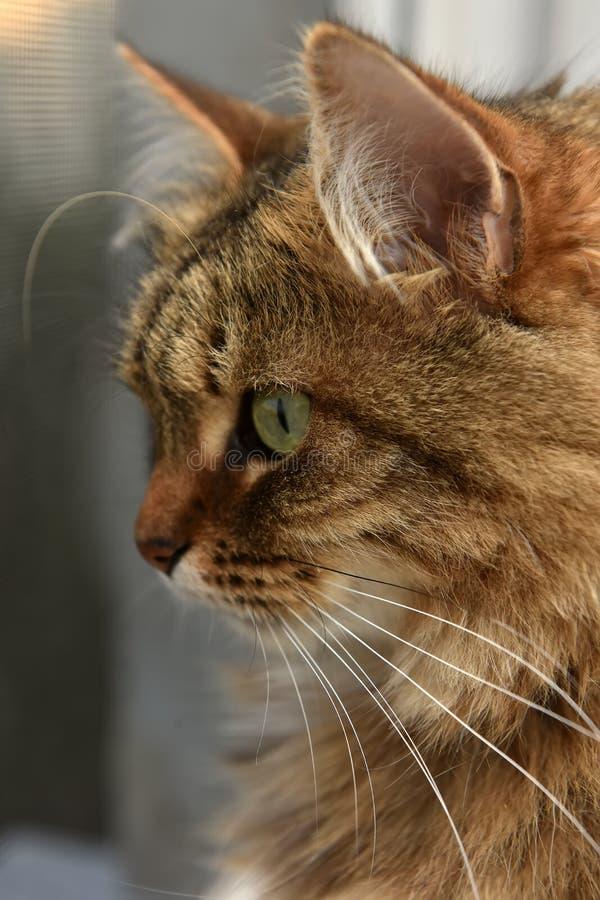 Siberische bruine kat in profiel royalty-vrije stock afbeelding