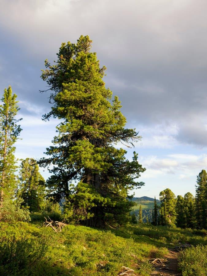 Siberische Ceder bij de sleep in het Ergaki-aardpark stock fotografie