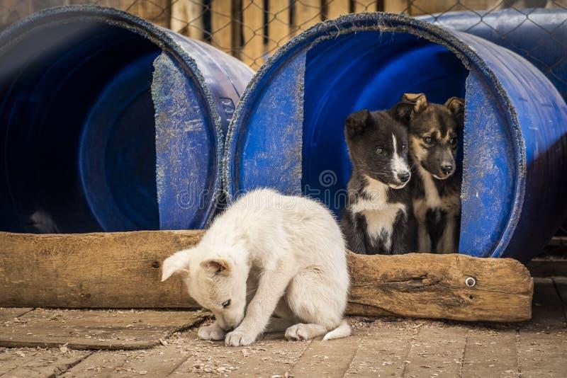 Siberische Herderspuppy binnen een vluchteling in een hondkennel royalty-vrije stock foto