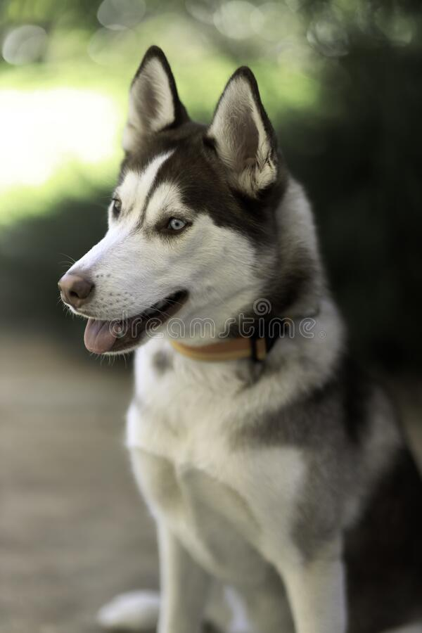 Siberische husky royalty-vrije stock fotografie