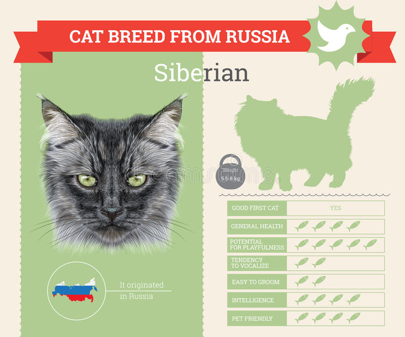 Siberische infographics van het Kattenras royalty-vrije illustratie