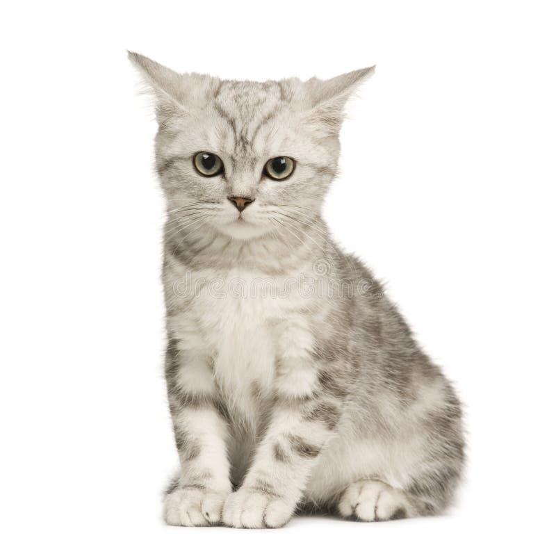 Siberische kat (12 weken) stock foto's