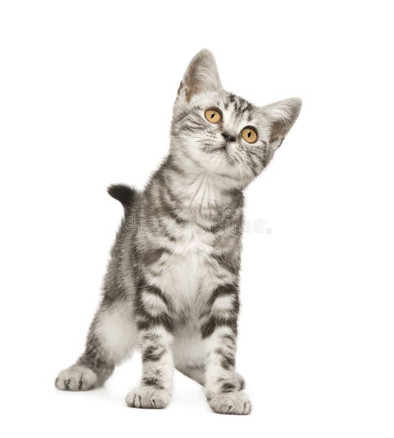 Siberische kat (12 weken) royalty-vrije stock afbeelding