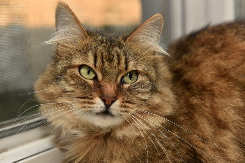 Siberische kat op de vensterbank stock afbeelding
